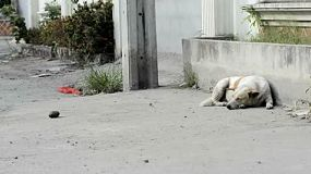 A dirty soi dog (stray dog) resting on the side of a road in Bangkok, Thailand.