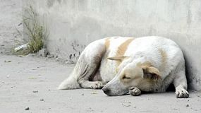 A dirty soi dog (street dog) resting on the side of a road in Bangkok, Thailand.
