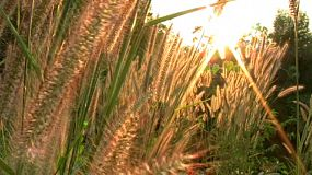 A beautiful sun sets behind tall grass on a windy day in rural Thailand.