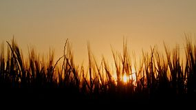 Crop of barley silhouetted against the setting sun.