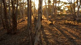 Tracking shot of some trees at sunrise, with the long shadows of the surrounding australian bushland.