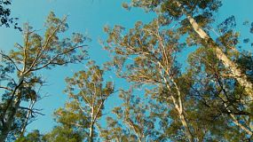 Looking up at tall Karri trees in the Gloucester National Park near Pemberton, Australia.