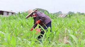 An Asian farmer plants fresh corn in her corn field in the province of Chiang Rai, Thailand.