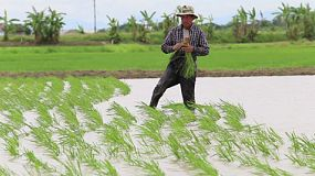A hard working Thai farmer plants rice in a rice paddy in the northern province of Chiang Rai, Thailand.