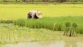 A Thai farmer pulling out rice seedlings ready for transplating in a rice paddy in Northern Thailand.