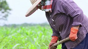Tilt up view of an Asian woman working hard in a corn field in northern Thailand.