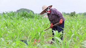 An Asian woman working hard with a hoe in a corn field in northern Thailand.