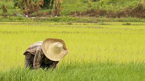 Thai farmer pulling rice seedlings ready for transplating in a rice paddy in Northern Thailand.