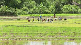A group of Thai farmers plant rice in a rice paddy in the northern province of Chiang Rai, Thailand.
