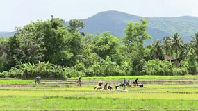 A group of hard working Thai farmers plant rice in a rice paddy in the northern province of Chiang Rai, Thailand.
