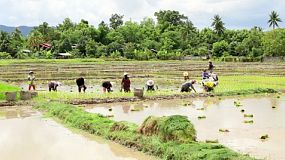 A group of hard working Thai farmers planting rice in a rice paddy in the northern province of Chiang Rai, Thailand.