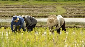 Farmers planting rice by transplanting rice seedlings in northern thailand.