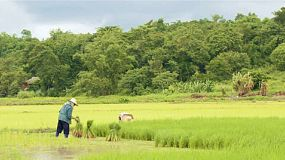 Farmers planting rice by transplanting rice seedlings in rice paddies in northern thailand.