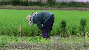 A Thai farmer hard at work planting rice in a rice paddy in the northern province of Chiang Rai, Thailand.