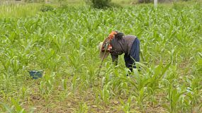 A Thai woman working the ground in a corn field near chiang rai, thailand.