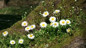 A lovely shot of beautiful Chamomile flowers up against a mossy tree in spring time. (HD 1080p30)