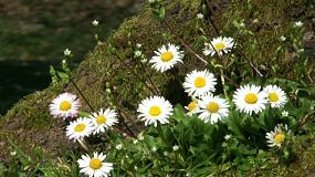 A lovely close up shot of beautiful Chamomile flowers up against a mossy tree in spring time. (HD 1080p30)