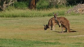 Two kangaroos grazing in an open grassed area on Heirisson Island, Perth.