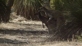 Kangaroos mating amongst grass trees in the Australian bush.