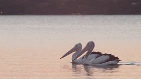 Two pelicans swimming on a river in the evening.