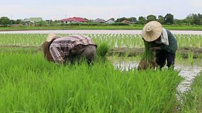 Asian farmers hard at work transplanting rice seedlings in a rice paddy in Chiang Rai, Thailand.