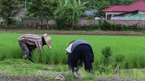 Two Thai farmers working in a rice paddy field in the northern province of Chiang Rai, Thailand.