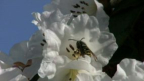 A wasp gets his fill of nectar and then takes off of a pretty white flower in the spring. (HD 1080p30)