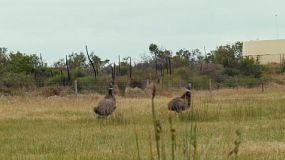 Two wild emus running across a field on an Australian farm.