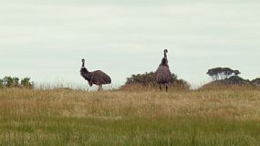Two wild emus wandering in a field on an Australian farm.
