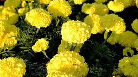 Yellow marigold flowers in a garden.
