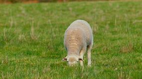A young lamb grazing in a grassy field.