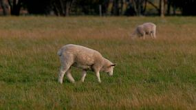 A young lamb walking while grazing in a field on an Australian farm.