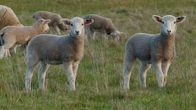 A cute young wiltipoll lambs standing in a grassy paddock, looking at the camera and the walking away.