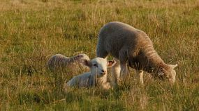 Young wiltipoll lambs resting, grazing, and wandering in a grassy paddock.