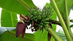 A cluster of unripe green bananas along with the banana flower hang on a young banana plant in rural Thailand.