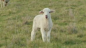 Cute Young Lamb Bleating And Looking Around