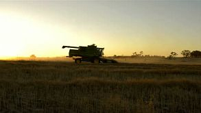 Harvesting A Canola Crop At Sunset On A Farm In Australia