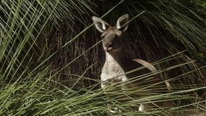 Kangaroo Amongst Grass Trees In The Wild