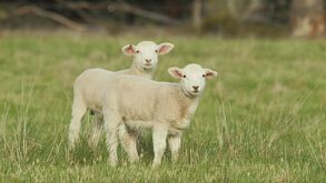 Two Cute Lambs In A Grassy Field Looking At The Camera