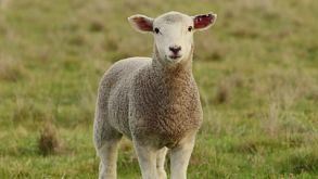 Young Lamb Standing In A Grassy Paddock